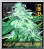 Cali Connection 22 6 Female Cannabis Seeds